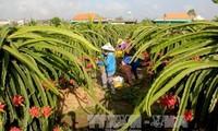 Les premiers fruits du dragon vietnamiens exportés en Australie