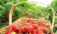 Jardin de fraises à Dalat