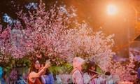 Festival bunga Sakura akan berlangsung dari 23-26/3 di Kota Hanoi