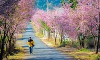 第一次大叻樱花节即将举行