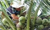 茶荣省干椰子价格居高不下