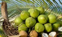 越南南部椰子价格猛涨