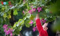 Quand les bauhinies sont en fleur à Hanoi…