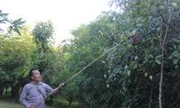 美国考虑允许进口越南新鲜芒果和金星果