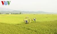 FAO预测越南2017年跻身大米产量最大的5国行列
