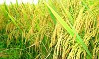 Seminar über Umstrukturierung des Reisanbaus im Mekong-Delta