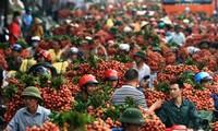 Die USA importieren Litschi und Longan aus Vietnam