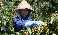 Ngày cà phê Việt Nam và phát triển ngành cà phê Việt Nam