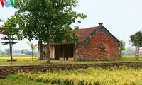Erntezeit im traditionellen Dorf Duong Lam
