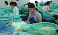 Vietnam ist der weltweit größte Cashewnüsse-Exporteur in den vergangenen acht Jahren