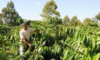 การเกษตรที่ใช้เทคโนโลยีขั้นสูง – แนวทางการพัฒนาเศรษฐกิจอย่างยั่งยืนของ เขตที่ราบสูงเตยเงวียน