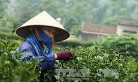 สร้างเครื่องหมายการค้าของชาเวียดนามในตลาดสหรัฐ