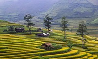 Harvest time in Mu Cang Chai
