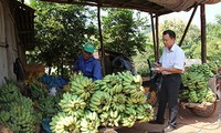 Banana growing helps reduce poverty in Yen Chau, Son La