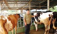 Raising dairy cows helps Cu Chi farmers prosper