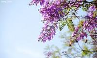 Trees in full bloom in Da Lat City