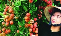 Vietnam exports 1st batch of litchi to US in May