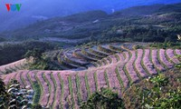 Ha Giang prepares for Buckwheat Flower Festival