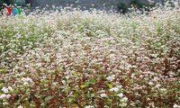 Ha Giang is appealing with beautiful buckwheat flowers
