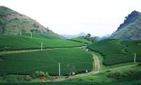 Moc Chau plateau inspires tourists