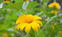 Wild sunflowers brighten Ba Vi National Park