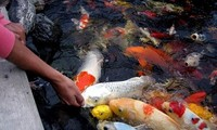HCM City fish farmers raking in Koi carp profits