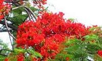 Hai Phong city to bloom during flamboyant festival