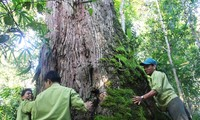 A population of perennial fokienia trees in Quang Nam recognized as heritage trees
