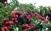 Vietnam exports 1 tons of lychees to the US