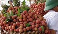 Creating favourable conditions for lychee exporters