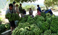 Banana plantation helps Huoi Luong farmers in Lai Chau escape poverty