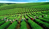 Vietnam boosts tea exports to the US