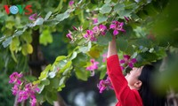 Ban flower brightens Hanoi streets