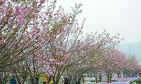 Sakura blossoms on display at Vietnam-Japan cultural festival