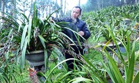 Compatriotas de Ta Phin salen de la pobreza gracias al cultivo de orquídea Cymbidium