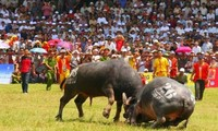 Penjelasan VOV mengenai  pesta adu kerbau di Vietnam