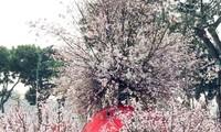 Vietnam consolida lazos con Japón con el Festival de Flores de Cerezo