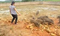 Ninh Moc Sau entkam die Armut durch Zucht der Wildschweine