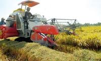 Langfristige Strategie über Reisproduktion zum Export