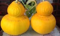 Anbau von geformten Früchten für den Altar zum Neujahrsfest in Chau Thanh