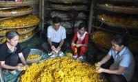 Der Beruf des Anbaus der weißen Maulbeere und der Seidenraupenzucht in Thieu Hoa, Thanh Hoa