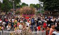 Rekord für das japanische Kirschblütenfest in Hanoi