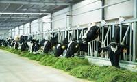 Vinamilk dalam jalan  membangun cabang industri susu Vietnam