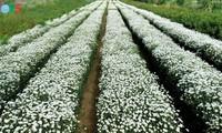 Hanoï accueille la saison des fleurs d'échinacée blanche