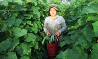 Effektive Modelle aus der Zusammenarbeit zwischen Bauern und Unternehmen der Provinz Quang Nam