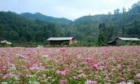 Ha Giang in Blütezeit des Echten Buchweizens