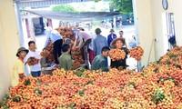 Mehr als eine Tonne Litschi Vietnams wird in die USA exportiert