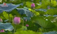 Die Schönheit der Lotusblumen im Sommer in Vietnam genießen