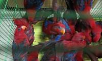 불법 수입된 300여 마리 붉은로리앵무새, 산림보호국으로 운송