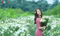 រដូវផ្កាគ្រីសាន (Chrysanthemum) Hoa mi (ហាកមី) រីកនៅទីក្រុងហាណូយ